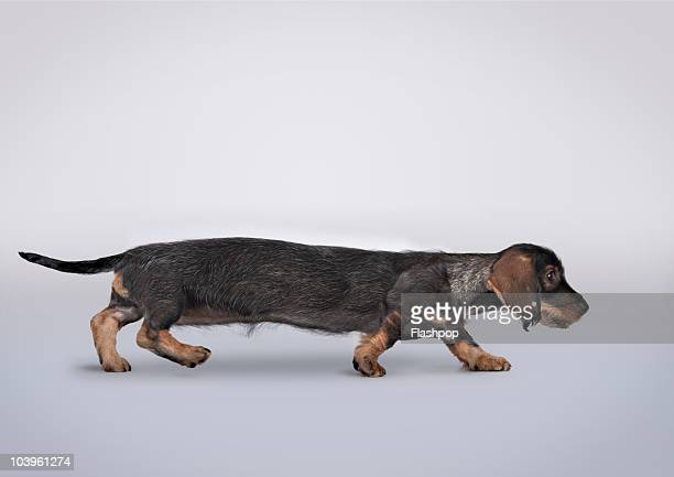 Profile portrait of a Dachshund stretched