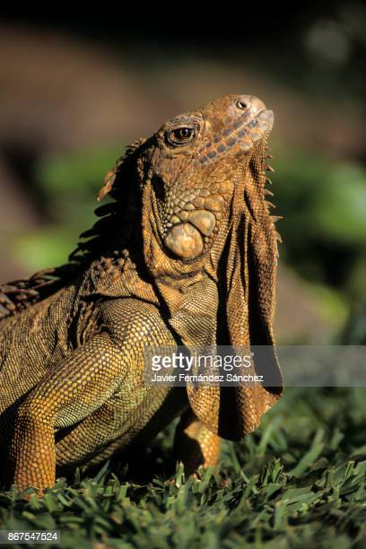 Profile portrait of a green iguana adult (Iguana iguana).