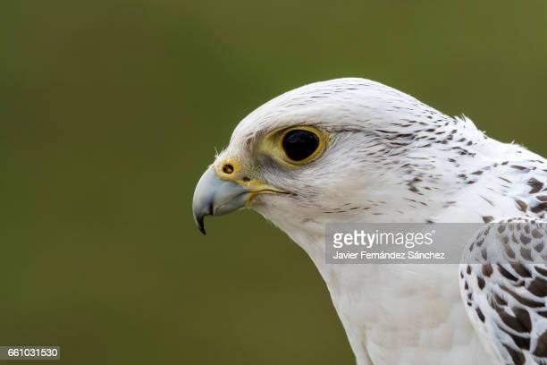 Profile portrait of a gyrfalcon falcon (Falco rusticolus).