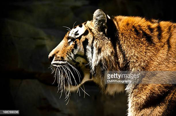 profile portrait of a large bengal tiger - safari animals stock photos and pictures