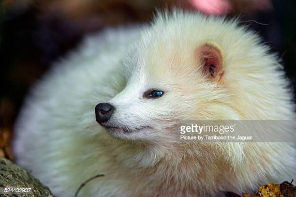 Profile portrait of a white raccoon dog