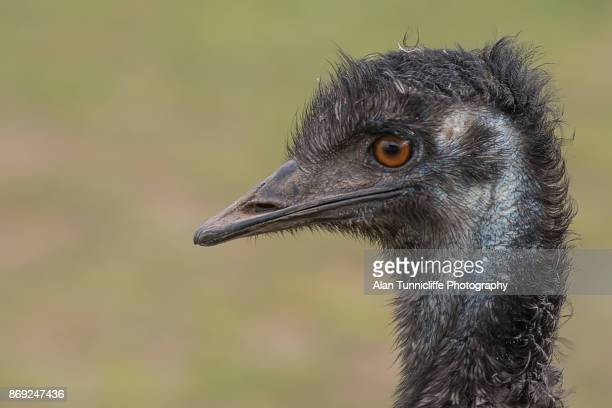 Profile portrait of an emu