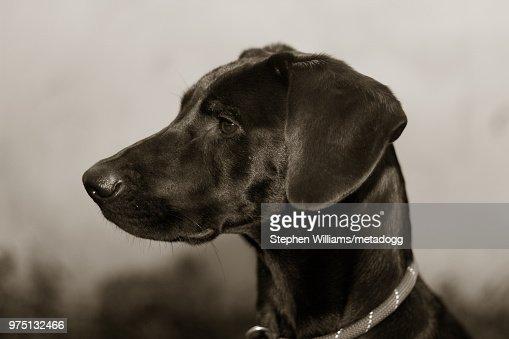 71 Black Weimaraner Photos and Premium High Res Pictures ...