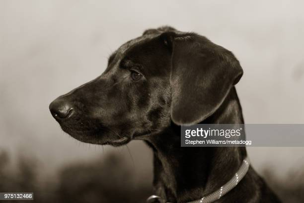 Lab Earrings Weimaraner Mutt Dog