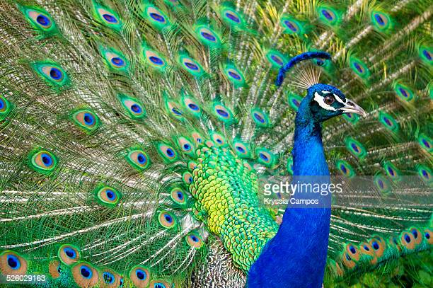 profile portrait of peacock - peacock stock pictures, royalty-free photos & images