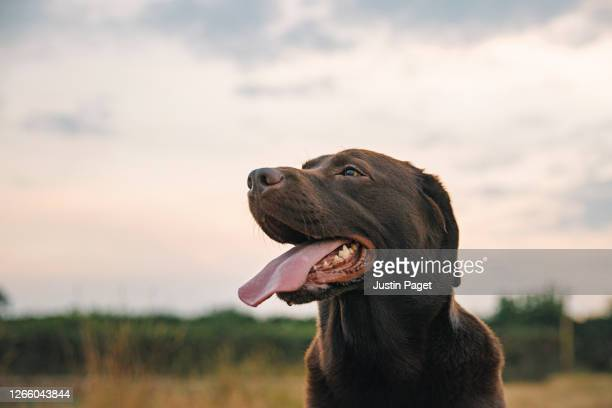 profile shot of a happy chocolate labrador at sunset - dog stock pictures, royalty-free photos & images