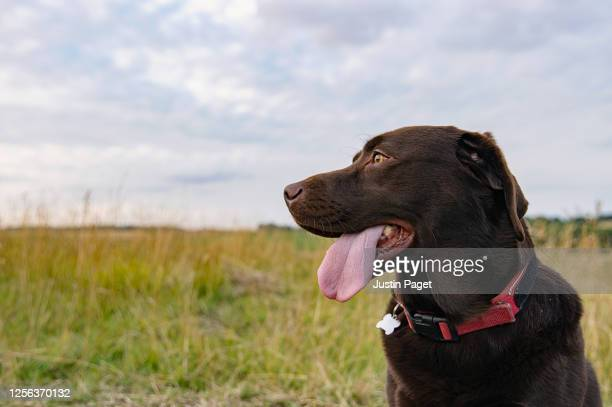 profile shot of a happy chocolate labrador - rural scene stock pictures, royalty-free photos & images