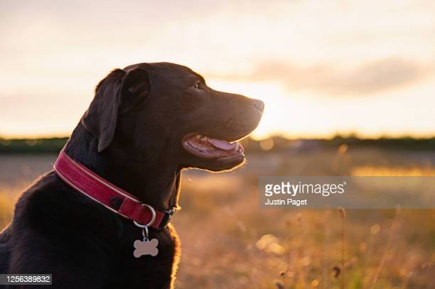 profile shot of a happy chocolate labrador - collar stock pictures, royalty-free photos & images