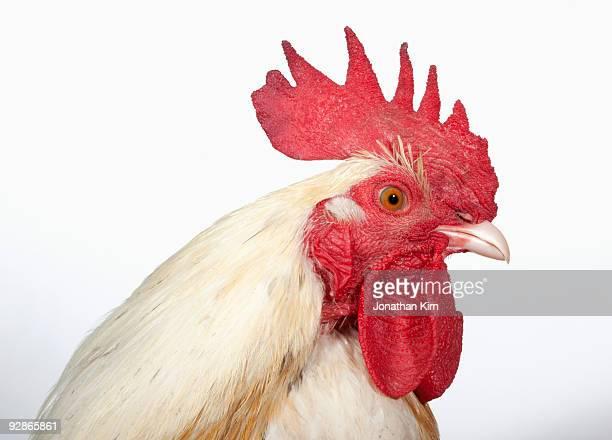 Profile studio portrait of White Silkie rooster.
