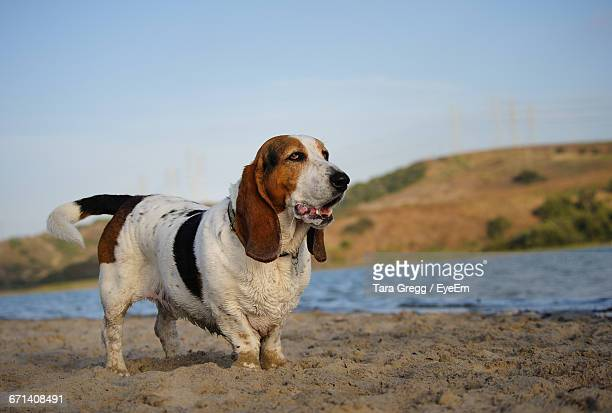 profile view of basset hound dog standing on beach - basset hound stock pictures, royalty-free photos & images