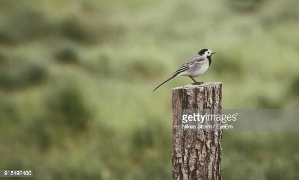 profile view of bird perching on wooden post - niklas storm eyeem stock photos and pictures