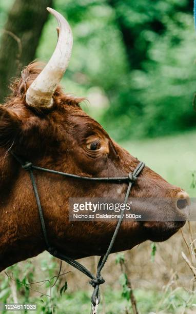 profile view of brown cow, vincennes, usa - vincennes stockfoto's en -beelden