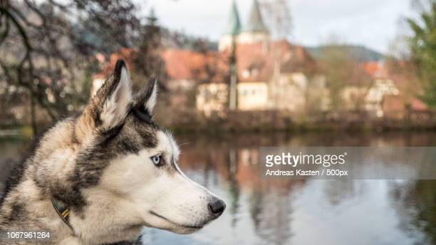 Profile view of husky on blurred background