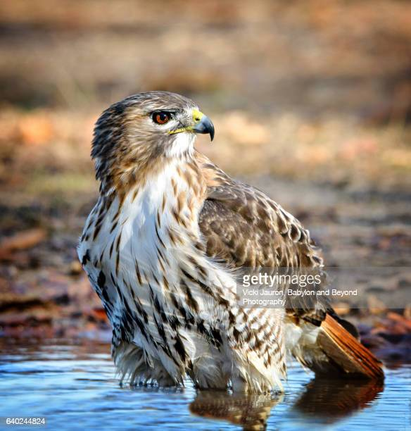 profile view of red tailed hawk (buteo jamaicensis) in water at caumsett state park - red tailed hawk stock photos and pictures