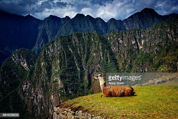 Profile view of sitting llama overlooking mountains surrounding Machu Picchu, Peru