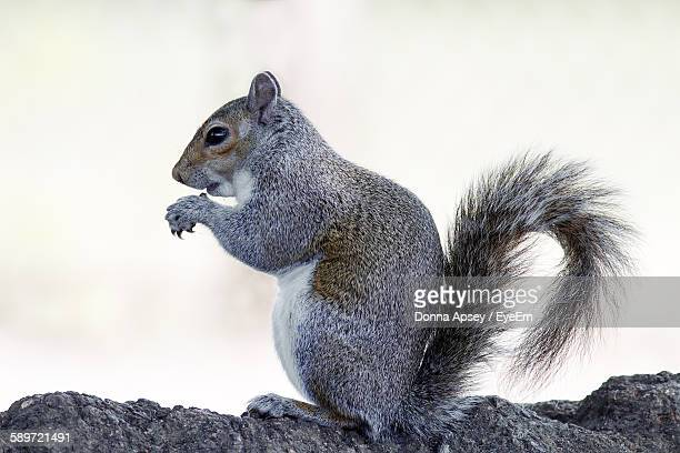 profile view of squirrel on branch against white background - リス ストックフォトと画像