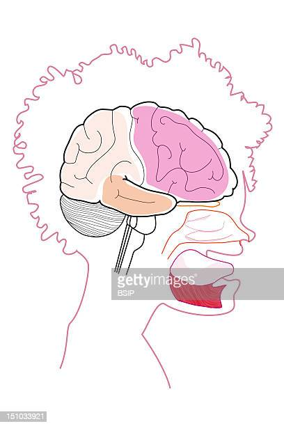 Profile View Of The Cerebral Cortex With The Cerebellum Beneath It The Nasal Mucous And The Tongue