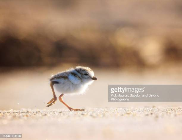 profile view of tiny piping plover chick running in the sand - wader bird stock photos and pictures
