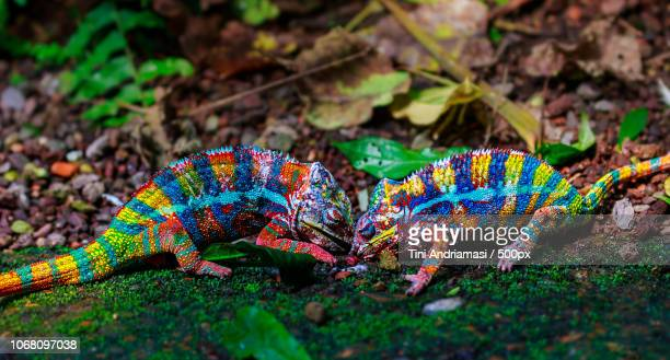 profile view of two chameleons - east african chameleon stock pictures, royalty-free photos & images