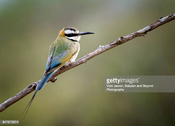 Profile View of White Throated Bee Eater