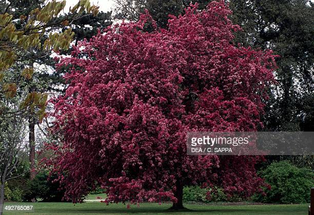 Profusion crabapple tree Rosaceae