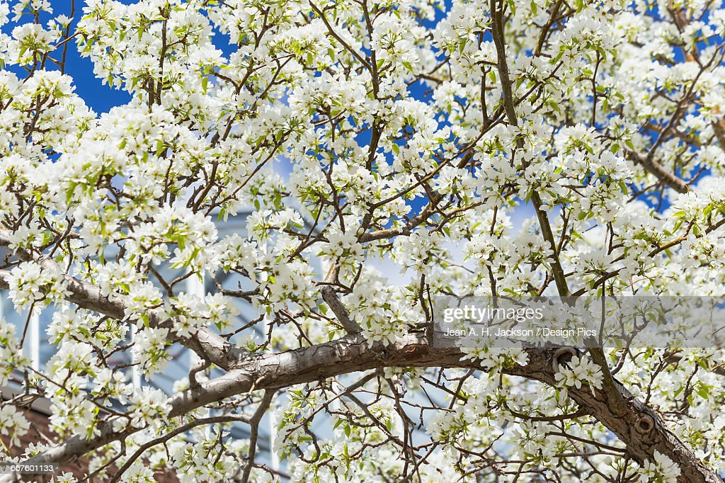 A Profusion Of White Blossoms Cover The Branches Of A Crab Apple ...