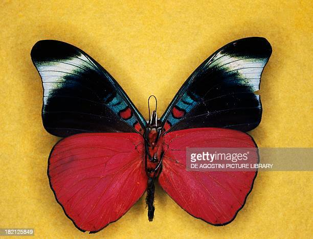 Prola beauty or Red flasher butterfly , Nymphalidae.