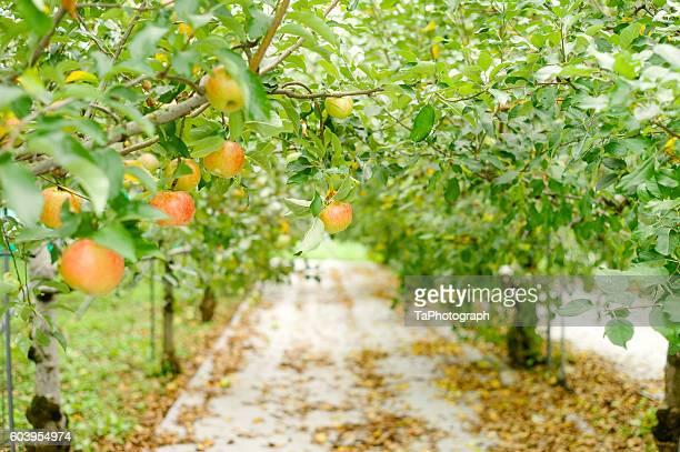 Prolific Apple Trees