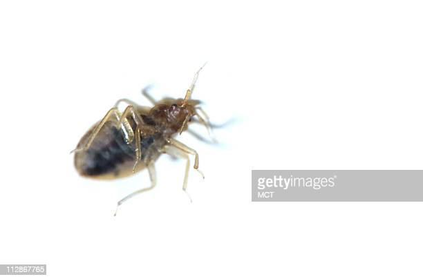 Prolific breeders female bedbugs lay as many as five eggs per day and hundreds during a lifetime Unlike roaches or mice colonies are equally...