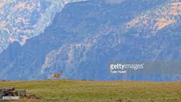 Pronghorn antelope on edge of cliff 1 Summit Steens Mountain Near Malhuer Wildlife Refuge 21