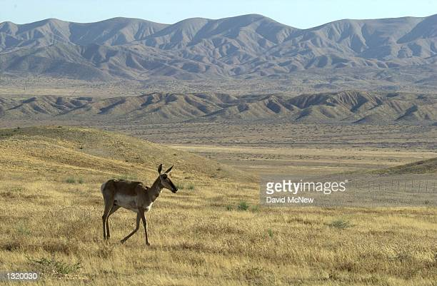 A pronghorn wanders the Elkhorn Plain near the Temblor Range background whichs rises from the San Andreas Fault at its base in the Carrizo Plain...