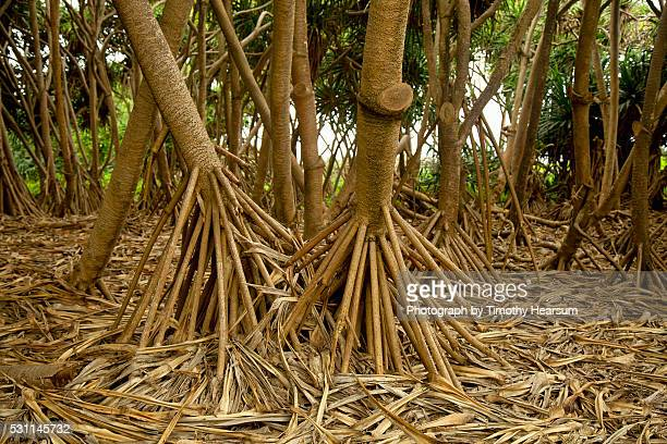 prop roots of hawaiian hala trees - timothy hearsum stockfoto's en -beelden