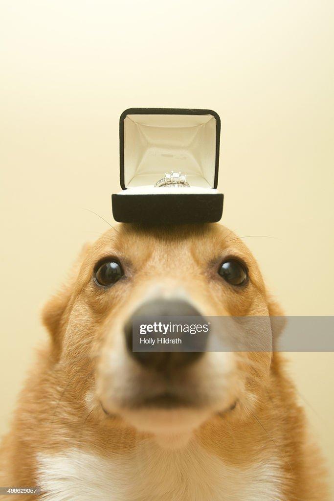 Proposal Corgi : Stock Photo