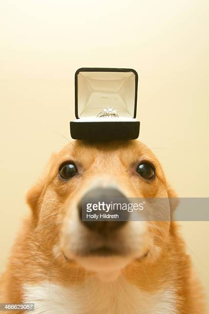 proposal corgi - engagement ring box stock photos and pictures
