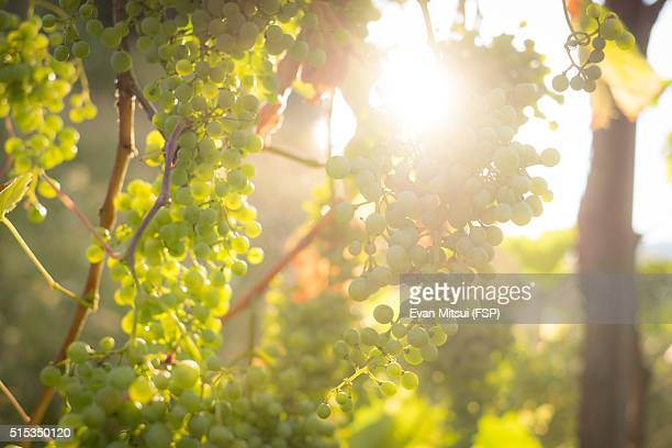 prosecco grapes on the vine - prosecco stock pictures, royalty-free photos & images