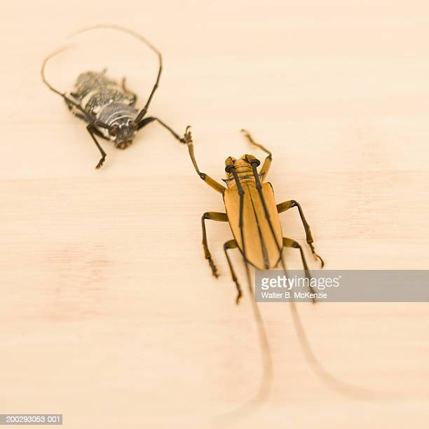 prosopocoilus bruijni rufulus and long horned beetle - horned beetle stock pictures, royalty-free photos & images