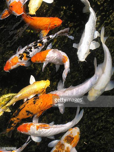 Prosperity Koi fish