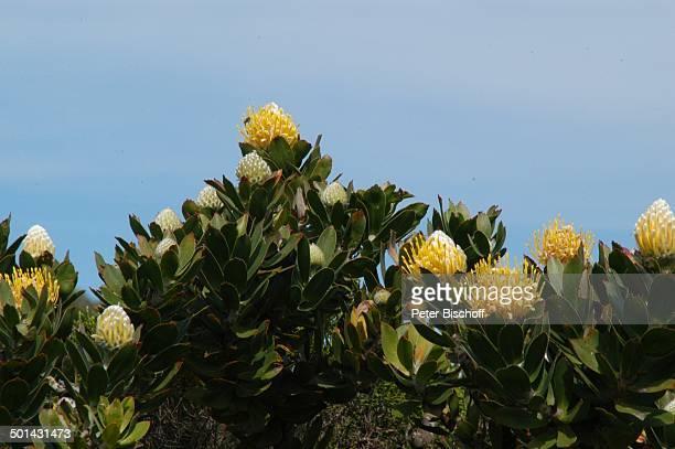Protea Blüten im Nationalpark am Kap der Guten Hoffnung bei Kapstadt Südafrika Afrika Straße Reise NB DIG PNr 1299/2005