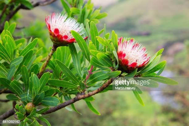 Protea cafira.South Africa