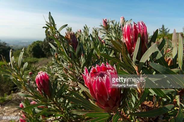 Protea Liebencherry at Kirstenbosch National Botanical Gardens in Cape Town South Africa