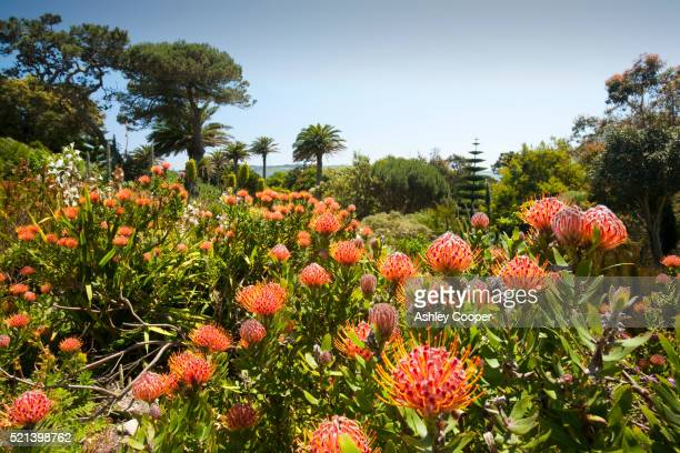proteas growing in the tresco abbey gardens - isles of scilly stock pictures, royalty-free photos & images