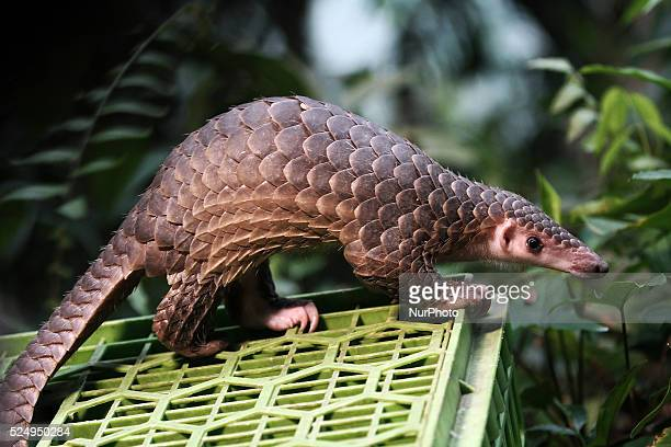 Protected animals Pangolin released into the wild after seized from the illegal trade, in forest conservation in Sibolangit, North Sumatra,...