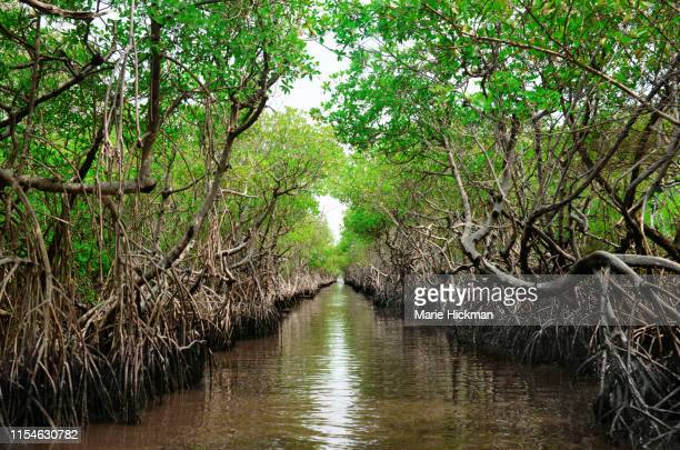 protected ecological carbon capture mangrove in everglade city, florida - mangroves stock pictures, royalty-free photos & images