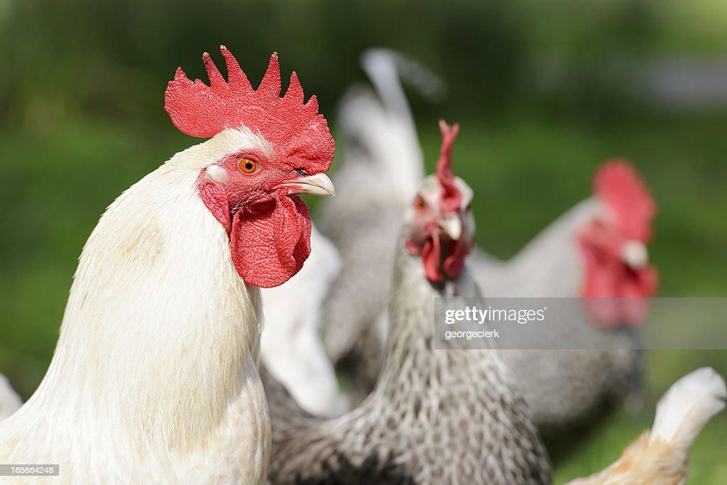 Protective Cockerel : Stock Photo