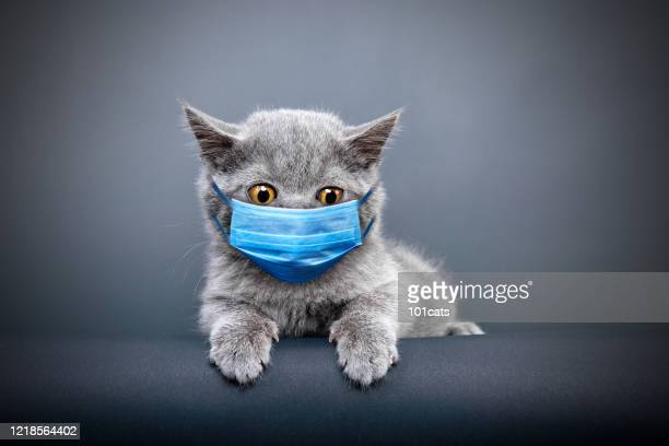protective face masked cat - pure bred cat stock pictures, royalty-free photos & images