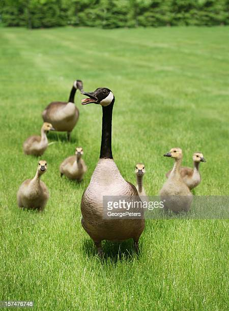 Protective Mother Goose