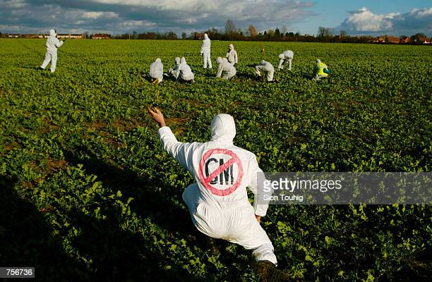 A protester tears up a genetically modified oil seed rape plant March 9 2002 at a demonstration against genetically modified crops at a farm in Long...