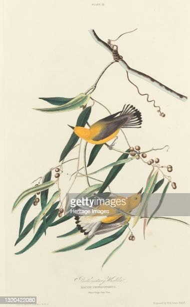 Prothonotary Warbler, 1827. [Dacnis protonotarius. Plant Vulgo Cane Vine]. Artist William Home Lizars.