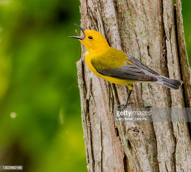 prothonotary warbler bird - warbler stock pictures, royalty-free photos & images