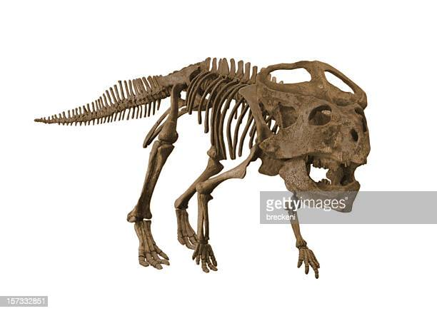 protoceratops - animal skeleton stock photos and pictures